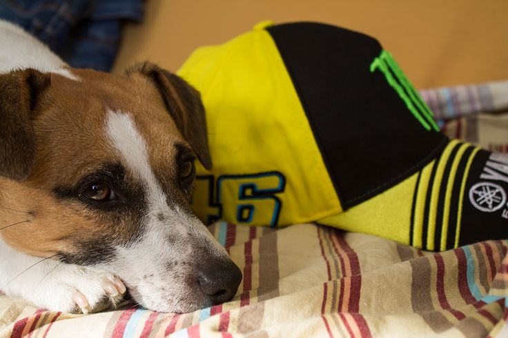 My dog supports Valentino Rossi. #iostoconVale #jackrussell