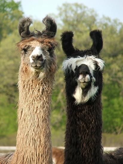 Llama's in Sussex! Ashdown Forest Llama Park Not just Llamas, also Reindeer, South American craft shop, Coffee Shop, an Alpaca Shop. http://www.llamapark.co.uk/around.php Open everyday: 10am - 5pm Admission: Adult - £6 Child - £5