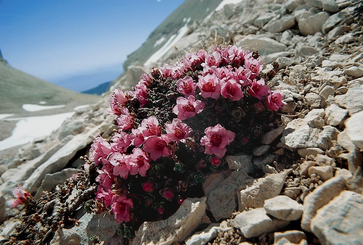 Saxifrage (Saxifraga latina), Majella National Park / Photo: MNP Archives