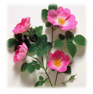 wild rose single parents The wild roses by ray allen, founder these true wild roses are all single with exactly five petals — never more, and almost all of them are pink.