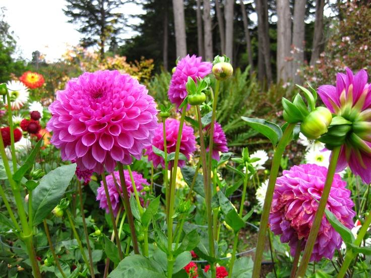 Mendocino Coast Botanical Gardens | Dahlia Garden