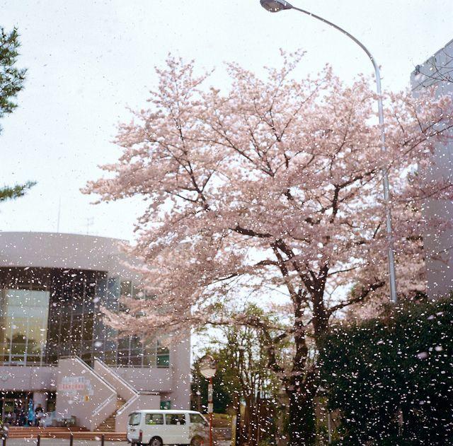 sakura blossom trees