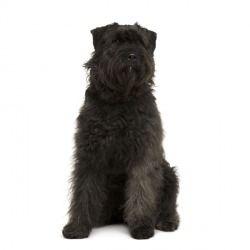 Il Bovaro delle Ardenne è un cane di taglia media dall'aspetto rustico e poco elegante. Ideale come cane da lavoro, è abile nella conduzione del gregge ed ama la vita all'aria aperta, assieme agli altri animali.
