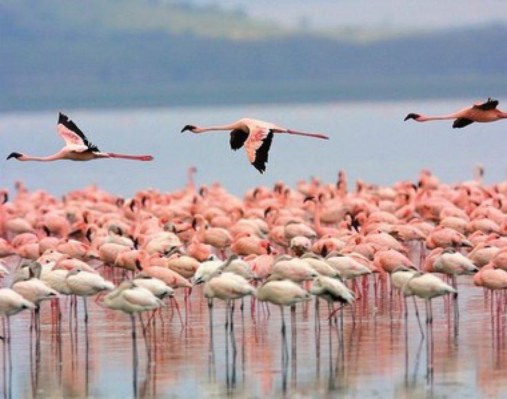 Λήμνος: Βουτιές με τα ροζ φλαμίνγκο.