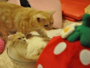 Café de Tóquio serve momentos de convívio com felinos Estabelecimento onde habitam mais de 50 gatos mira clientes que não podem tê-los em casa ou pessoas em viagem que querem a companhia de pets
