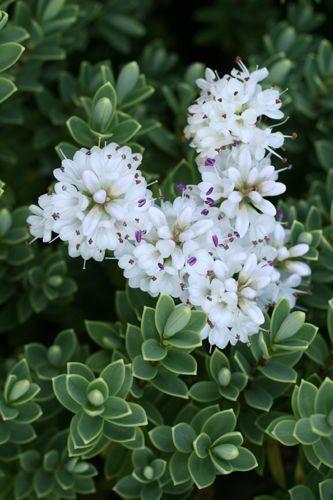 19 besten ilex crenata bilder auf pinterest gartenideen for Pflanzen evergreen