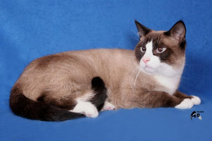 1000+ images about Snowshoe & Tonkinese on Pinterest ...