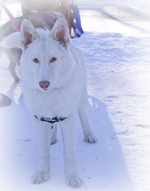 White Siberian Husky | Flickr -