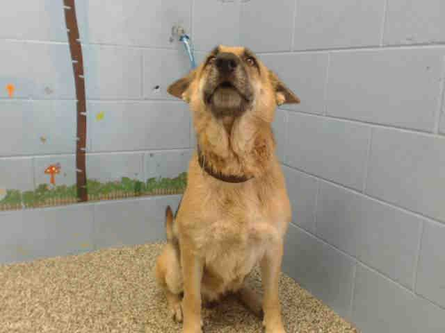 "11/20/16 -SAN BERNADINO, CA - ""GINA"" - 9 MONTHS OLD - puppy FEMALE - SWEET DOG - PLEASE SAVE THIS SWEET BABY GIRL!!! Urgent!"