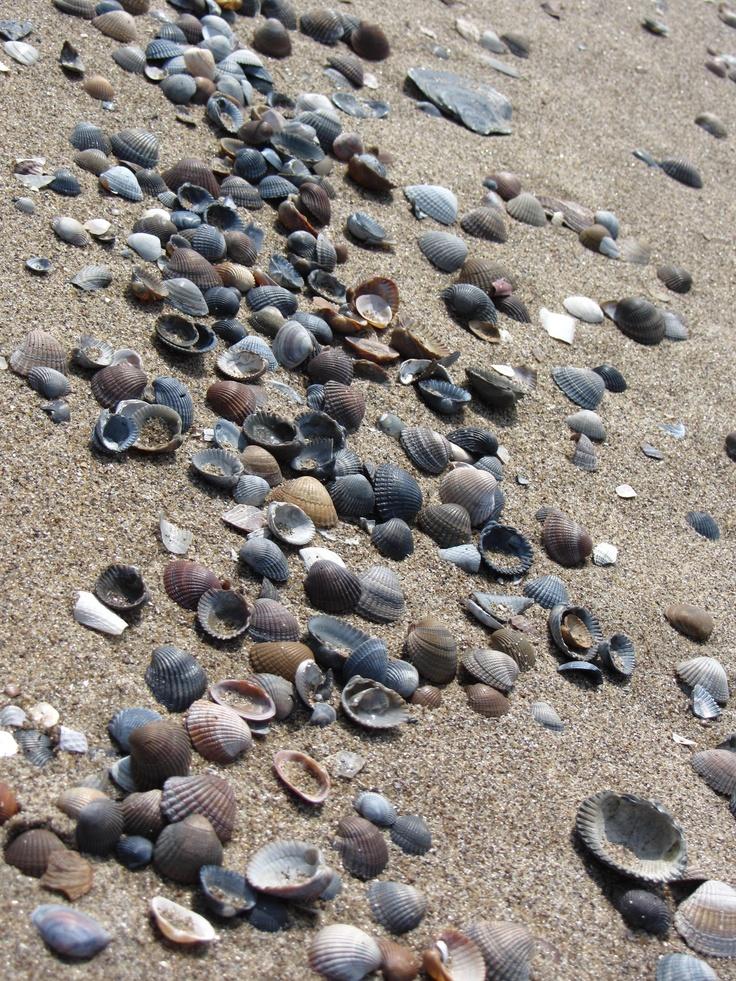 Seashells on the beach of Schouwen Duiveland, Zeeland.