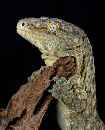 The Gardens of Eden-Photography by Michael D. Kern https://www.thegardensofeden.org/ Leachi Gecko