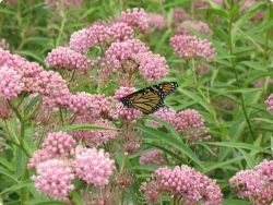Create Habitat for Monarchs | Get Involved | The Monarch Joint Venture