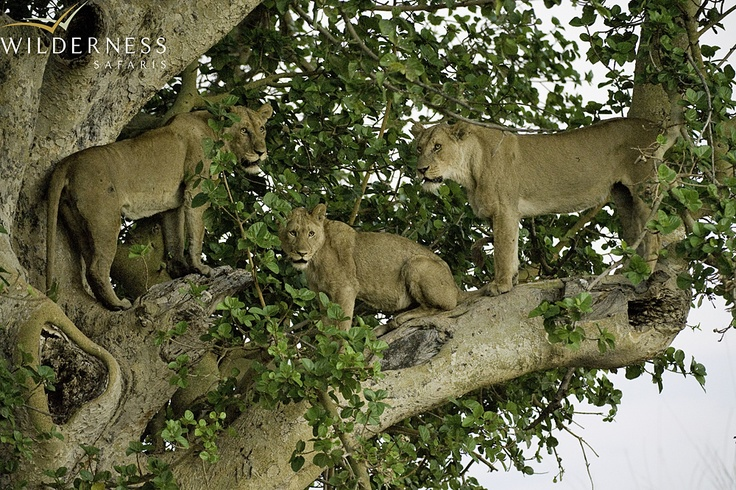 Busanga Bush Camp - The Busanga lions have become famous for their affinity to climb trees.