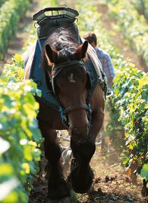 sustainable farming and harvesting in the vineyards, Boisset Family Estates, Napa Valley, CA.