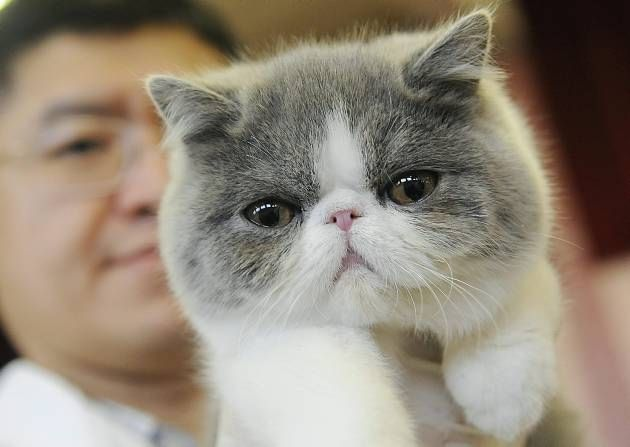 exotic shorthair cat | People flock to Wisbech for Exotic Shorthair cat show - News - Eastern ...