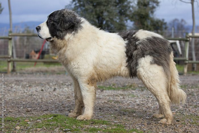 Pyrenean Mastiff. These dogs grow to be even bigger than the Great Pyrenees!