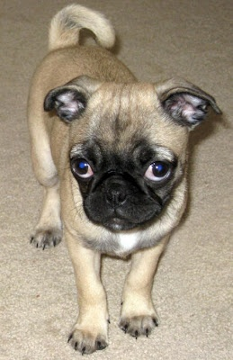Ahhhh a Pug / Chihuahua mix!!!