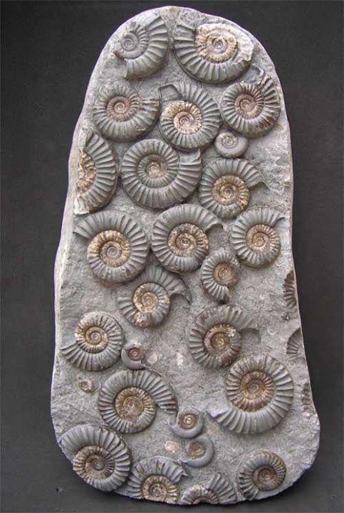 Name: Arnioceras semicostatum, Age: Jurassic, Lower Lias, Semicostatum Zone, Size:Size of multi block 290mm x 155mm, Location:Robin Hood's Bay, Nr Whitby, North Yorkshire, UK, Weight: 4kg; Photo © The English Ammonite Company