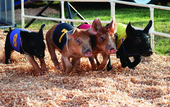 Forget opinion polls, voter trends and detailed research about key issues, a British farm has come up with an alternative way to predict the outcome of next week's EU referendum – by racing miniature pigs.