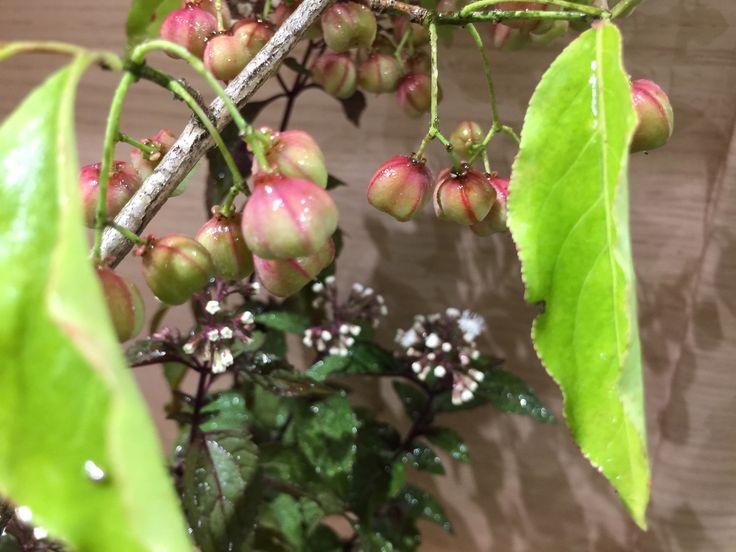 9/26 木 ◯マユミ(真弓,檀)ニシキギ科 ニシキギ属 落葉低木 雄雌異株 古来から弓の材料として使われた。 林などに自生。秋に果実と種、紅葉を楽しめることから庭木として親しまれている。 盆栽などにて仕立てられている。