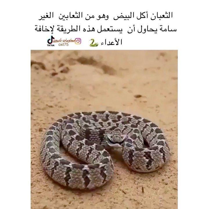45 Likes 6 Comments معلومات ذئ بون Oxt75 On Instagram متابعة تشجعنا للإستمرار لايك تلقائي Snake