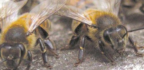 Enjambre de abejas ataca vecindario en #California...
