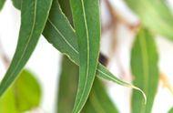 Eukalyptusöl: Wirkung und Anwendung | DocJones.de
