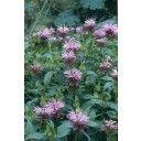 Bergamotplant (Monarda Beauty of Cobham) 125cm