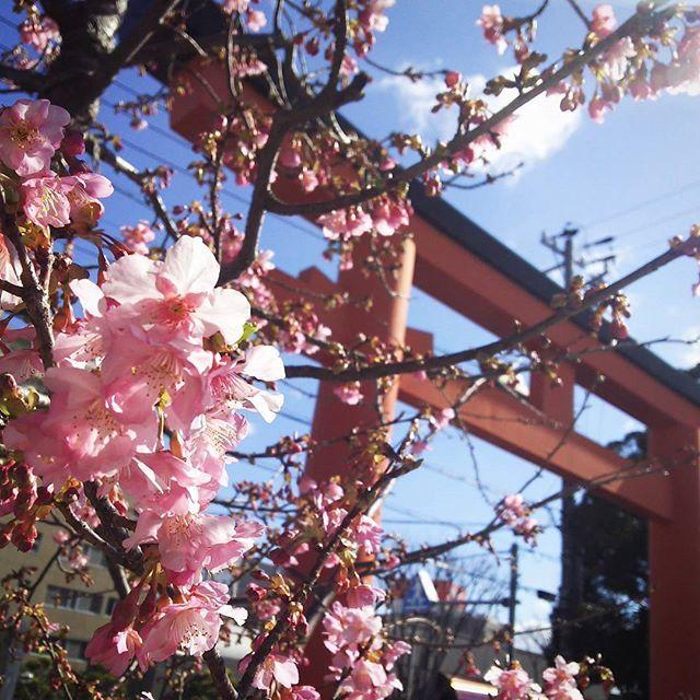 【kuretakeso.nakanohito】さんのInstagramをピンしています。 《#近くの神社で #桜が咲き始めました #春ですね #ウキウキしますね☺ #天気もいいし #いっそのこと #仕事 #全部投げ出… #🙌 #なんて #妄想にふける #午後のひととき #😪 #呉竹荘 #クレタケソウ #浜松 #桜 #春 #ぽかぽか #五社神社 #諏訪神社 #cherryblossom #shrine #フォローミー》