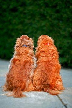 frienda forever #dog #puppy #cute #köpek #yavru #sevimli #animals #friedns #arkadaş #goldenretreiver