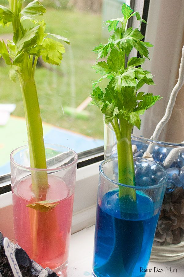 Plant Science Experiment exploring transpiration - Celery Science