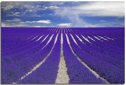 Purple Lavender in France.  Imagine how it smells.....