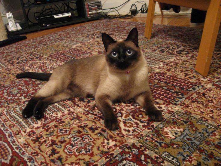 Applehead Siamese Cats | Traditional Siamese Cat Breeders