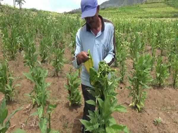 60 Persen Dari 500 Hektar Tanaman Tembakau Rusak di Magetan