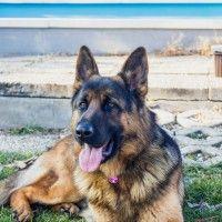 #dogalize Cane da guardia: come proteggere la proprietà #dogs #cats #pets