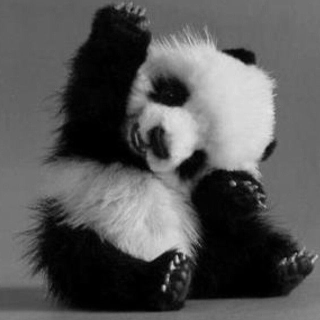 Baby Pandy doing High Five! By: Unknown #cute #cuteanimal #adorable #adorableanimal #animals #babyanimals #babyanimals #panda #pandas #pandabear #pandabears #babypanda #FF #photooftheday #tagforlikes