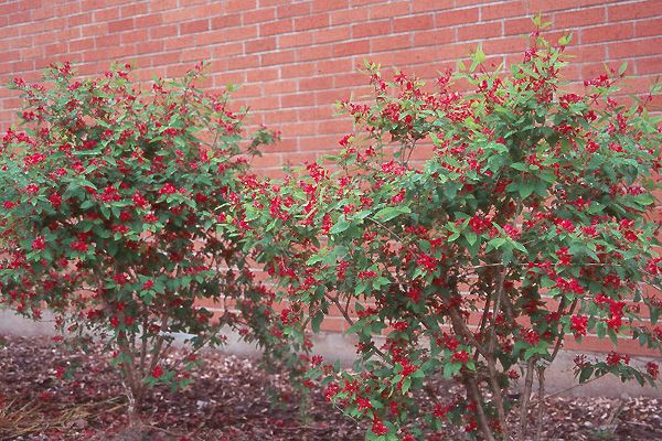 lonicera tatarica arnold red - Google Search