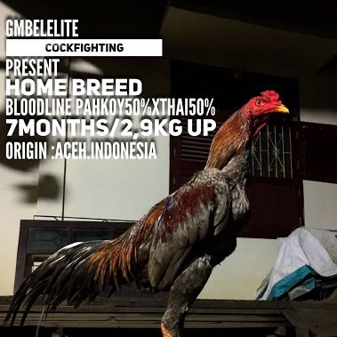 Gmbelelite Cockfighting Breeder Present.,  Best price And detail. Contact us…