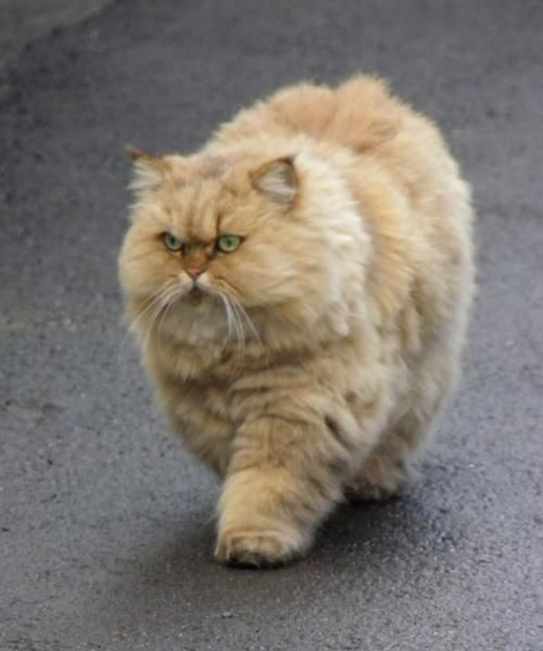 Very Fluffy Angry Cat Fat Orange Cats Pinterest