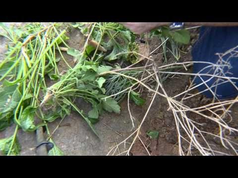 Plante comestibile in apropiere de plaja -2
