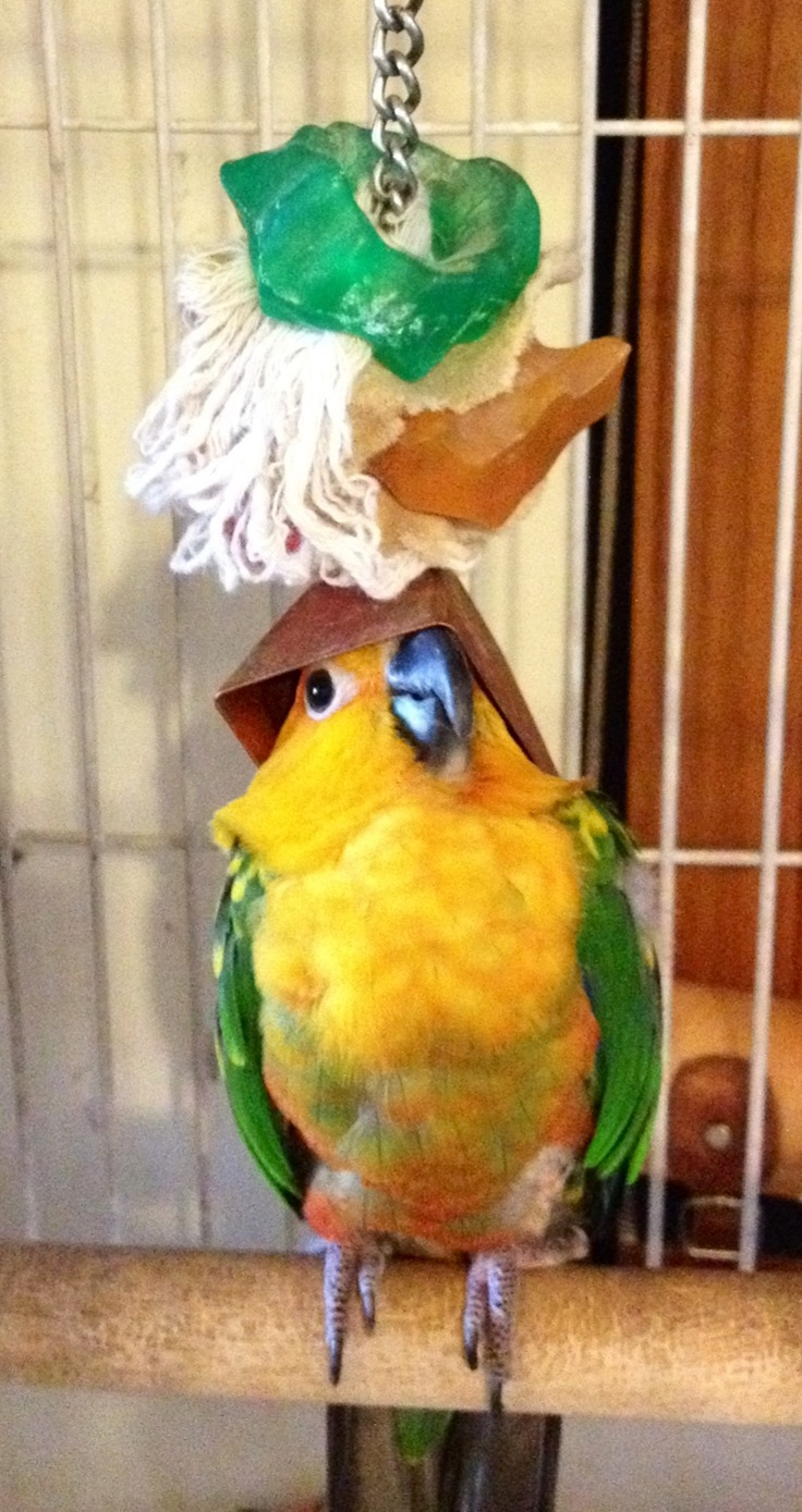 CONURE~~~ just hanging out with the toy ..my bird does this to get an out of reach itch taken care of....