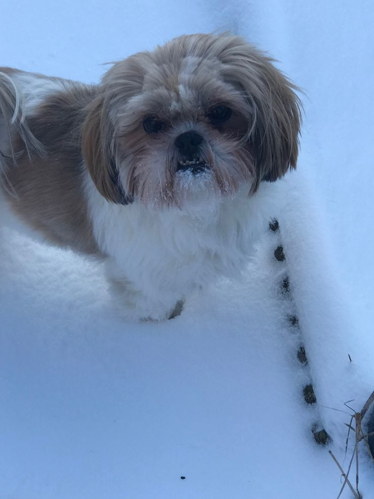 Shih tzu snow day