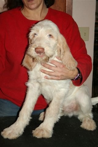 spinone pup