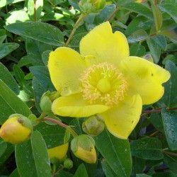 Millepertuis arbustif - Vente Vente en ligne de jeunes plants de Millepertuis arbustif pas cher | Leaderplant