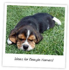 ideas for beagle names
