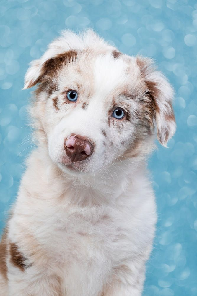 Blue Eyed Lex By Elke Vogelsang On 500px Puppies With Blue Eyes Blue Eyed Dog Australian Shepherd Blue Eyes