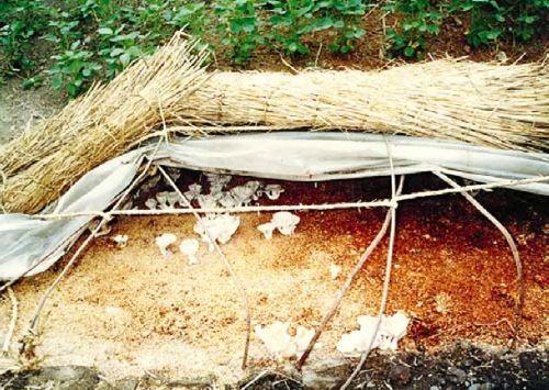 Mound culture for straw mushrooms – image from Mushroom Growers Handbook 1, © Mushworld