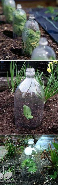 2 litros de botellas de soda grandes tienen varios usos! Si se corta la parte inferior apagado, puede utilizarlos para cubrir las plántulas como mini invernaderos (o campanas de cristal). También protegen de las heladas, el viento y la lluvia fuerte.