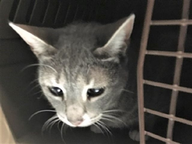 Zoe 34320 Pets Cat Adoption Kitten Adoption
