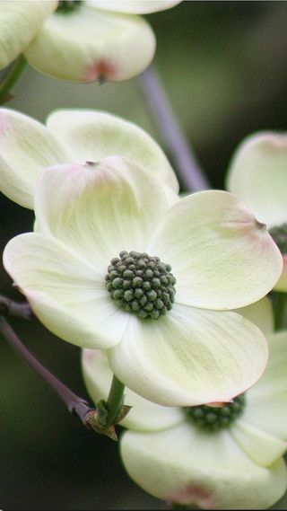Springtime  - Dogwood Tree Blooms - Cornus florida (flowering dogwood) is a species of flowering plant in the family Cornaceae native to eastern North America, from southern Maine west to southern Ontario, Illinois, and eastern Kansas, and south to northern Florida and eastern Texas,